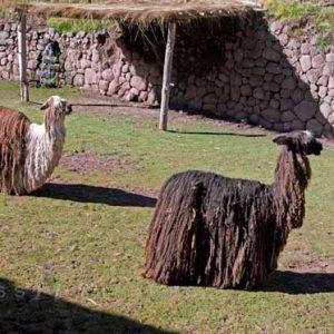 Alpacas In Sacred Valley