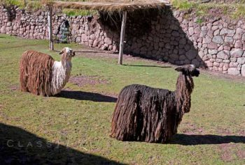 Alpacas In Sacred Valley