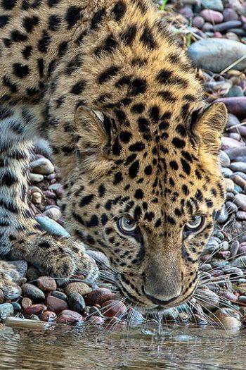 Amur_Leopard2