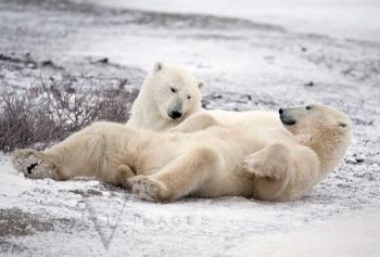 Arctic Bad Boys