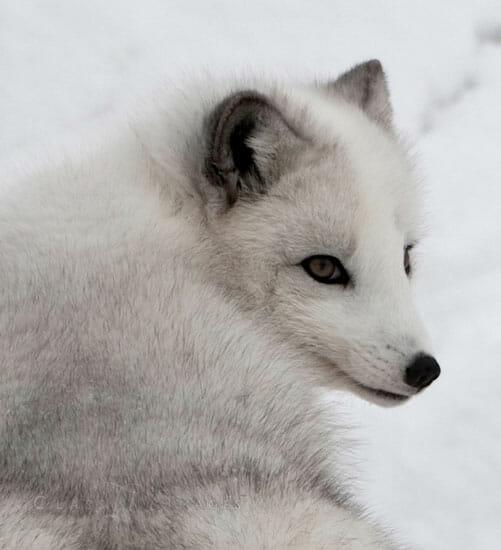 Arctic Fox Portrait 550