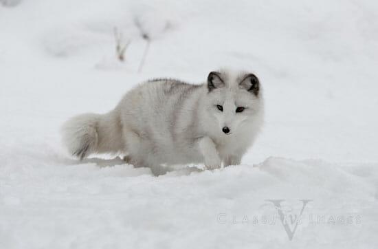 Arctic Fox In Winter 550