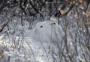 Arctic Hare