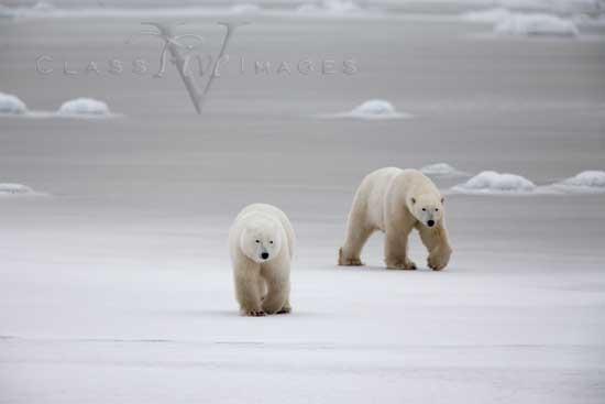 Arctic Stroll 550