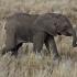 Baby Elephant Walk 550