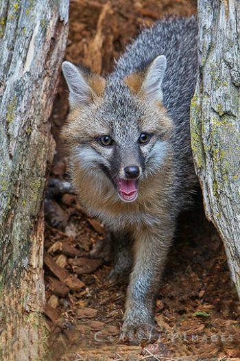Baby Grey Fox