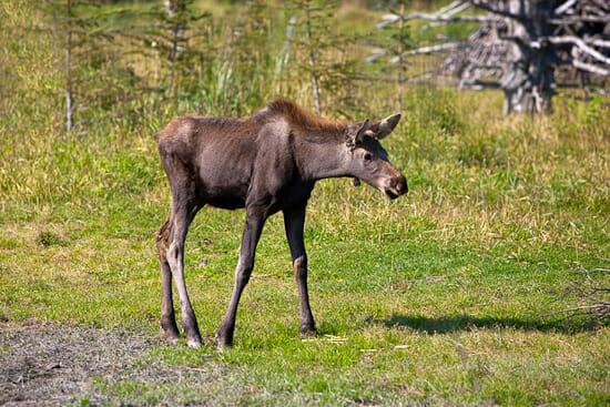 Baby Moose 550