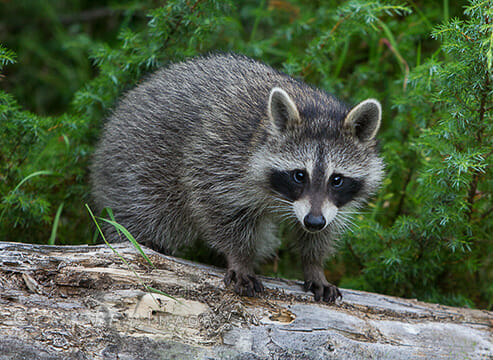 baby racoon class v images