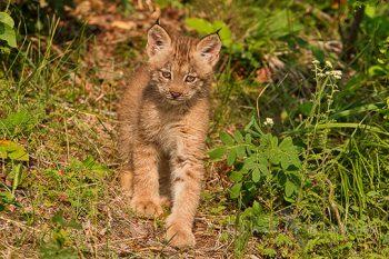 Baby Lynx Stalking