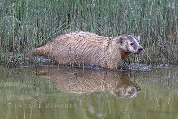 Badger Reflection