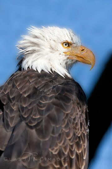 Bald Eagle Profile 550