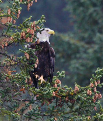 Bald Eagle In Tree At Seward