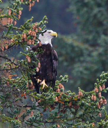 Bald Eagle In Tree At Seward 500