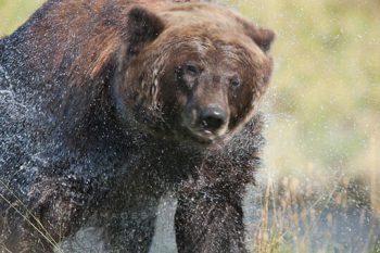 Bear Drying Off
