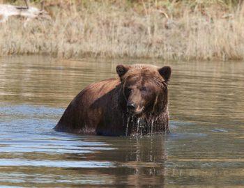 Bear In Pond