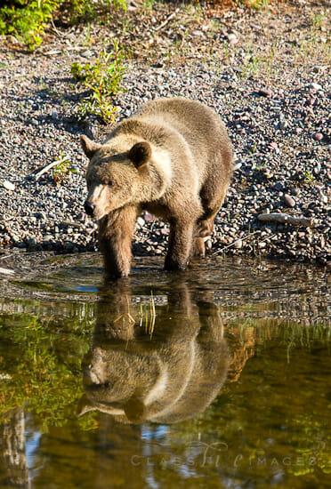 Bear Reflection 550