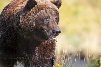 Bear At Pond