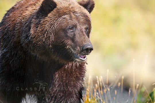 Bear At Pond 550