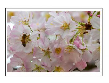 Bee In Blossom