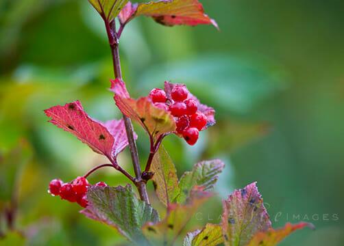 Berries 550