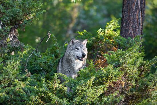 Big Bad Wolf 550