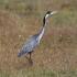 Black Headed Heron 550