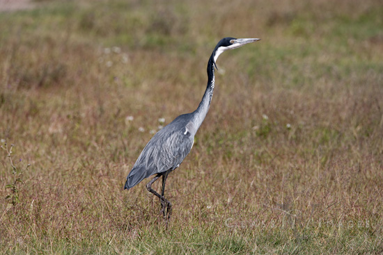 Black Headed Heron 550