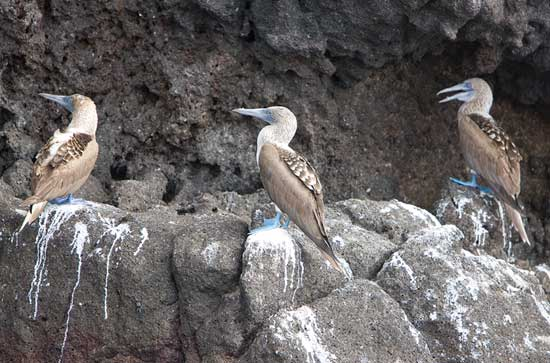 Blue Footed Boobies In Conference 550