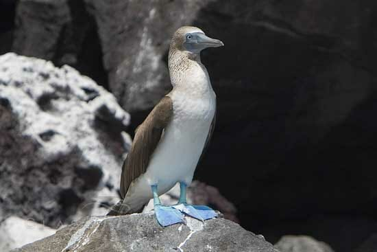 Blue Footed Booby 550