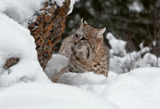 Bobcat In Winter 550