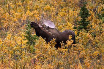 Bull Moose In Denali