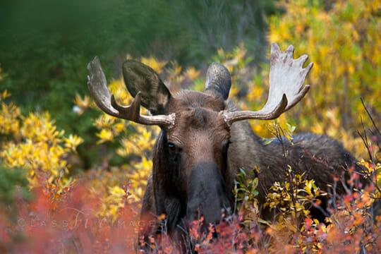 Bull Moose In Fall Color 550