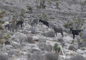 Burros In Red Rock Canyon