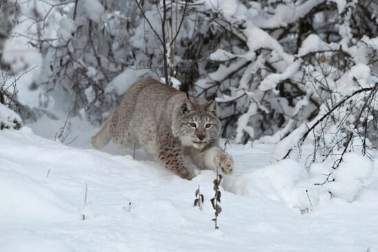 Canadian Lynx In Winter 550