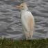 Cattle Egret 550