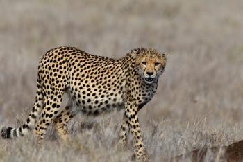 Cheetah Close-up