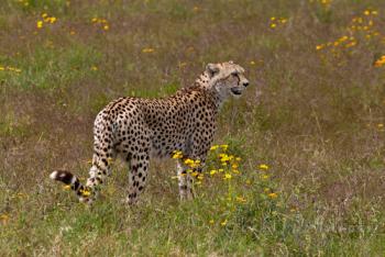 Cheetah In Flowers
