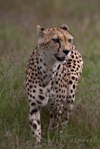Cheetah In Ngorongoro Crater