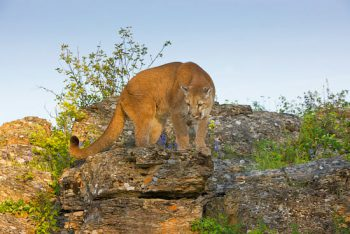 Cougar On The Rocks