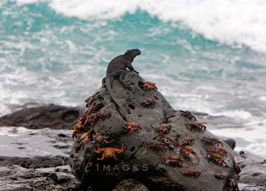 Crab And Iguana On Rock 550