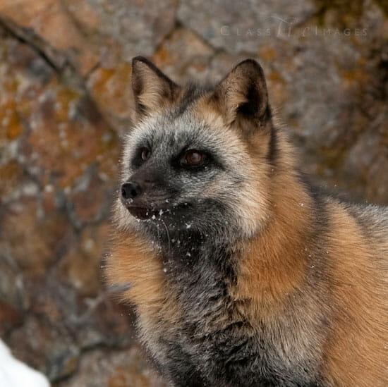 Cross Fox Portrait 550