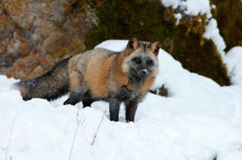 Cross Fox In Winter