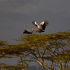 Crowned Cranes At Sunset 550