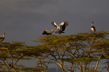 Crowned Cranes At Sunset