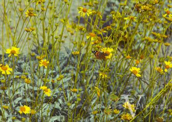 Spring Flowers In Anza Borrego