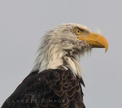 Eagle Close Up 550