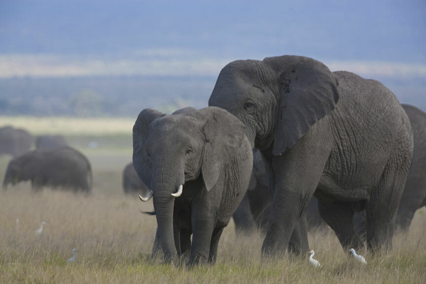 Elephants Leaving Amboseli