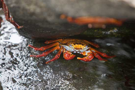 Galapaagos Red Crab Reflection 550