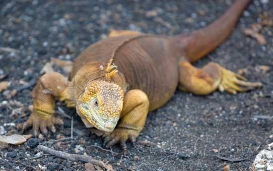 Galapagos Land Iguana 550