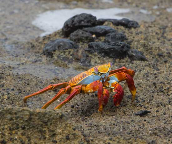 Galapagos Red And Blue Crab 550